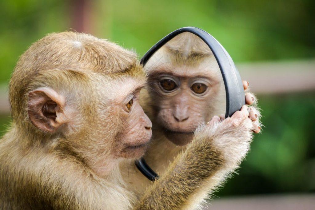 Un monito mirándose a un espejo